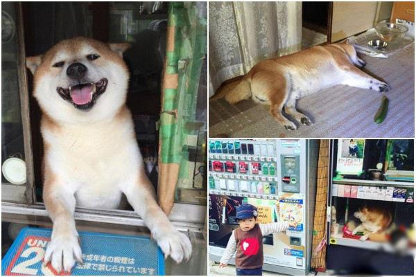 柴犬如今已成为欢乐的代表,逗比的化身。最近又有一只柴犬在网上走红,它是日本一间香烟店的店长。 东京武藏小金井的铃木烟店的招牌、知名卖烟西施--小柴酱,在当地可是大有名气。不过今后大家要是去东京恐怕很难看到了~因为这家商店宣布闭店,小柴酱今后作为一只普通柴犬享受退休生活虽然再看不到他一推小窗探出头问来包啥牌子的,但还是祝小柴退休愉快! 退休后的生活